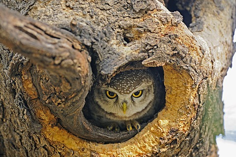 Spotted Owlet (Athene brama) in a tree hole, Ranthambore National Park, Rajasthan, India, Asia