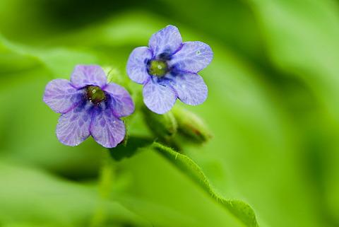 Common Lungwort (Pulmonaria officinalis)