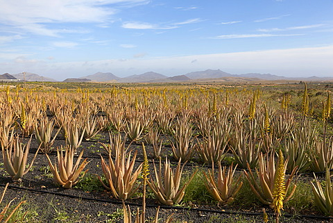 Aloe vera cultivation on Fuerteventura, Canary Islands, Spain, Europe