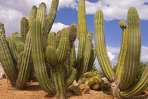 Pasacana Cactus (Trichocereus pasacana)