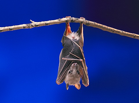 Fruit Bat or Flying Fox (Pteropus medius) resting by hanging upside down on a branch