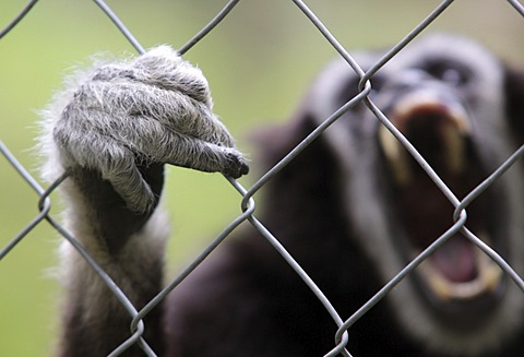 White handed Gibbon (Hylobates lar) in captivity screaming and clinging with its hand to the fence