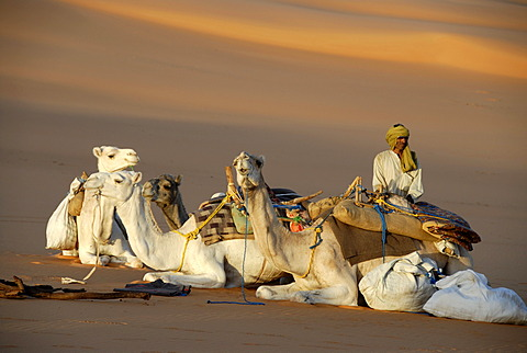 Tuareg guards white camels in desert sand Mandara Libya