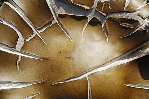 Mushroom, Alpine Melanoleuca (Melanoleuca subalpina), edible, detail, close-up