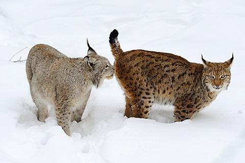 Lynx (Lynx lynx) in the snow
