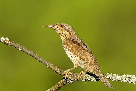 Wryneck (Jynx torquilla) sticking out tongue