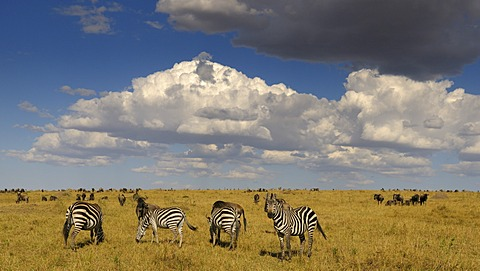 Grant's Zebra (Equus quagga boehmi) and wildebeest (Connochaetes taurinus), herds in the wilderness with dramatic clouds, Masai Mara National Reserve, Kenya, Africa