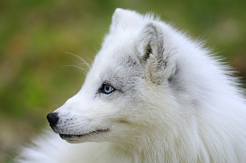 Arctic fox, White Fox, Polar Fox or Snow Fox (Alopex lagopus), portrait, Troms, Northern Norway, Norway, Scandinavia, Eoropa