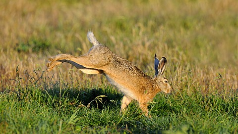 Hare (Lepus europaeus), shaking water from its fur, morning dew, Texel, Wadden Islands, Netherlands, Europe