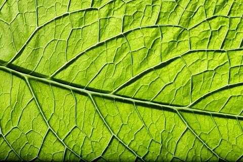 Borage (Borago officinalis), close-up of leaf