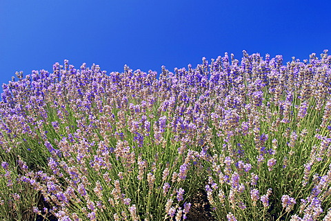 Blooming lavender (Lavendula angustifolia), Provence, Southern France, Europe