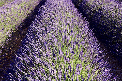 Blooming lavender (Lavendula angustifolia) in a field, Provence, Southern France, Europe