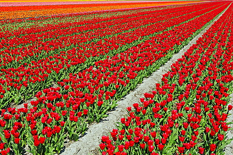 Field of Tulips (Tulipa sp.), near Lisse, South Holland, Holland, Netherlands, Europe