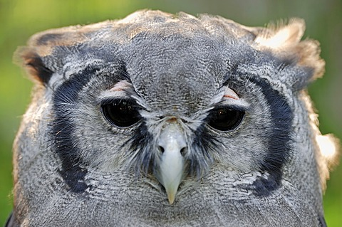 Giant Eagle Owl, Verraux's Eagle Owl (Bubo lacteus), portrait, African species, captive, North Rhine-Westphalia, Germany, Europe