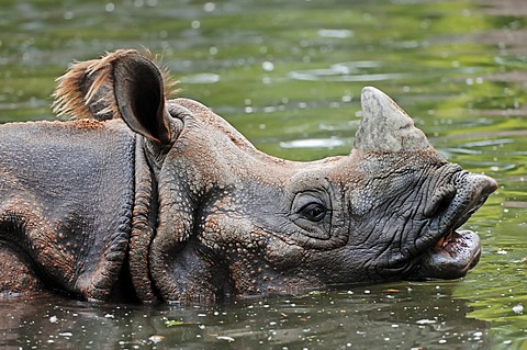 Indian Rhinoceros, Greater One-horned Rhinoceros and Asian One-horned Rhinoceros (Rhinoceros unicornis), in water, Asian species, captive, Czech Republic, Europe
