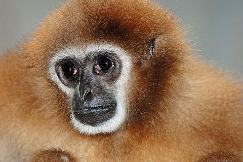 White-handed Gibbon or Lar Gibbon (Hylobates lar), portrait, Asian species, captive, Czech Republic, Europe