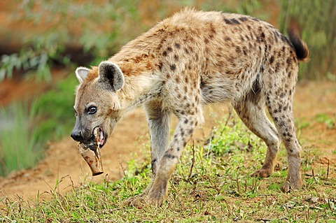 Spotted Hyaena or Laughing Hyena (Crocuta crocuta), native of Africa, in captivity, Czech Republic, Europe