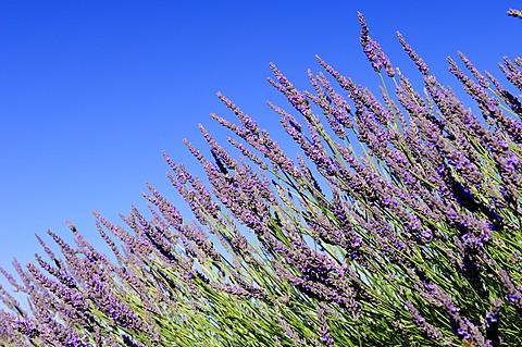 Blooming Lavender (Lavandula angustifolia), Vaucluse, Provence-Alpes-Cote d'Azur, Southern France, France, Europe, PublicGround