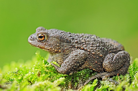 Common Toad (Bufo bufo), North Rhine-Westphalia, Germany, Europe