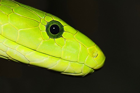 Eastern Green Mamba (Dendroaspis angusticeps), portrait, poisonous snake, native to Africa, North Rhine-Westphalia, Germany, Europe