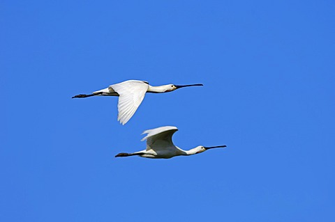 Eurasian spoonbills or Common spoonbills (Platalea leucorodia) in flight, Texel, Netherlands, Europe