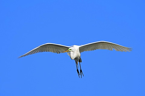 Great Egret or Great White Egret (Casmerodius albus, Egretta alba), in flight, Florida, USA