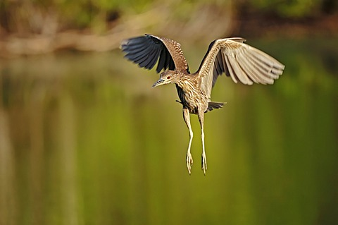 Black-crowned Night Heron (Nycticorax nycticorax), juvenile, in flight, Florida, USA