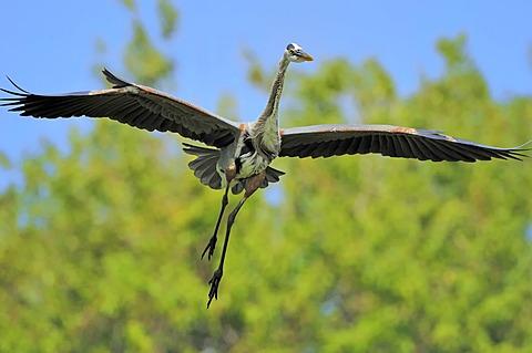 Great Blue Heron (Ardea herodias) in flight, Florida, USA