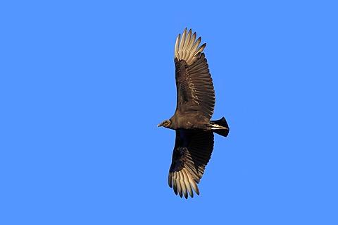 Black Vulture (Coragyps atratus) in flight, Myakka River State Park, Florida, USA