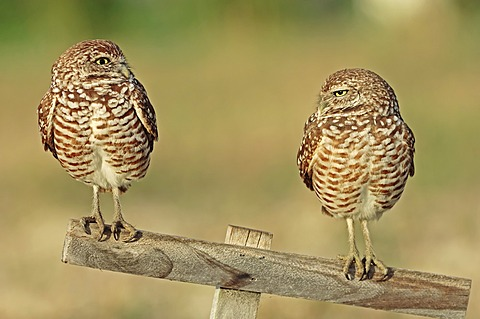 Burrowing Owls (Speotyto cunicularia, Athene cunicularia), pair on perch Florida, USA
