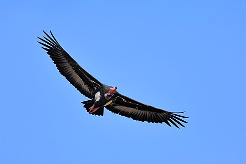 Red-headed Vulture (Sarcogyps calvus), in flight, Keoladeo Ghana National Park, Rajasthan, India, Asia