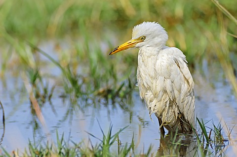 Cattle Egret (Bubulcus ibis), Keoladeo Ghana National Park, Rajasthan, India, Asia