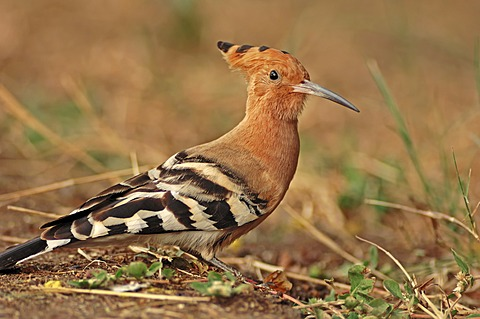 Common Hoopoe (Upupa epops), Keoladeo Ghana National Park, Rajasthan, India, Asia