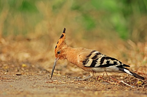Common Hoopoe (Upupa epops), foraging, Keoladeo Ghana National Park, Rajasthan, India, Asia