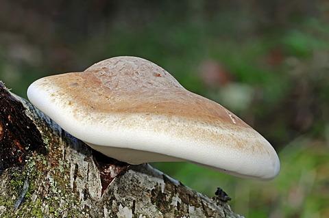 Birch Polypore (Piptoporus betulinus), Gelderland, Netherlands, Europe