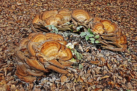 Giant Polypore (Meripilus giganteus), Gelderland, Netherlands, Europe