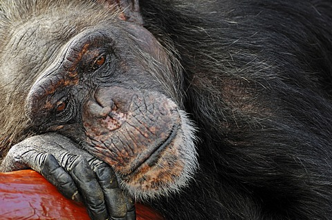 Chimpanzee (Pan troglodytes), chimp, female asleep, African species, captive, The Netherlands, Europe
