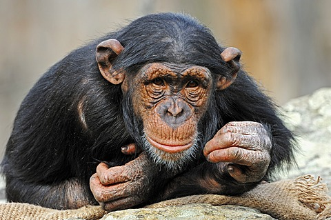 Chimpanzee (Pan troglodytes), chimp, juvenile, African species, captive, Germany, Europe