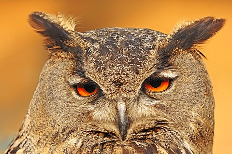 Eurasian eagle-owl (Bubo bubo), portrait, captive, North Rhine-Westphalia, Germany, Europe