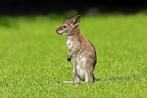 Red-necked wallaby (Macropus rufogriseus), joey, found in Australia, captive, North Rhine-Westphalia, Germany, Europe