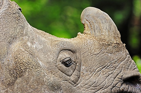 Indian rhinoceros (Rhinoceros unicornis), detailed view of head, found in India and Nepal, captive, India, Asia