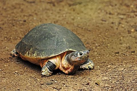 Malaysian giant turtle (Orlitia borneensis), found in Asia, captive, Belgium, Europe