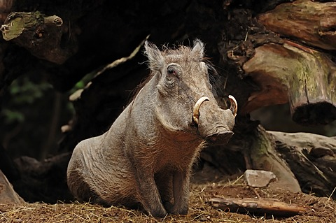 Common warthog (Phacochoerus africanus africanus), found in Africa, captive, Czech Republic, Europe