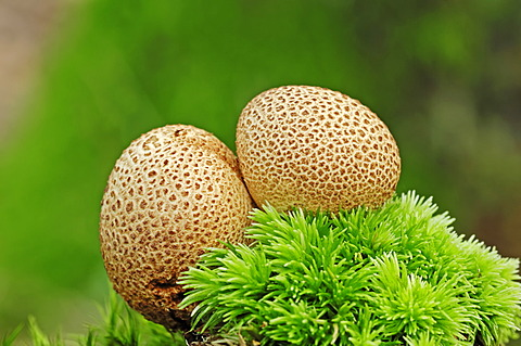 Common earthball, pigskin poison puffball (Scleroderma citrinum), poisonous mushroom, Gelderland, the Netherlands, Europe