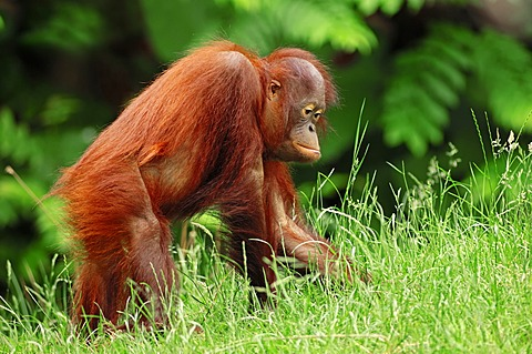 Bornean orangutan (Pongo pygmaeus), juvenile, species from Borneo, Asia, captive, Germany, Europe