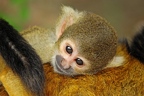 Black-capped squirrel monkey (Saimiri boliviensis), occurrence in Brazil and Bolivia, captive, Germany, Europe