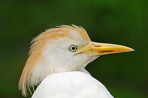 Cattle Egret (Bubulcus ibis), portrait, Camargue, Provence, Southern France, France, Europe