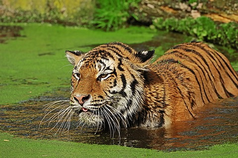 Siberian tiger (Panthera tigris altaica), in water, from Asia, captive, Netherlands, Europe