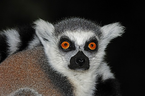Ring-tailed lemur (Lemur catta), portrait, found in Madagascar, Africa, captive, Germany, Europe