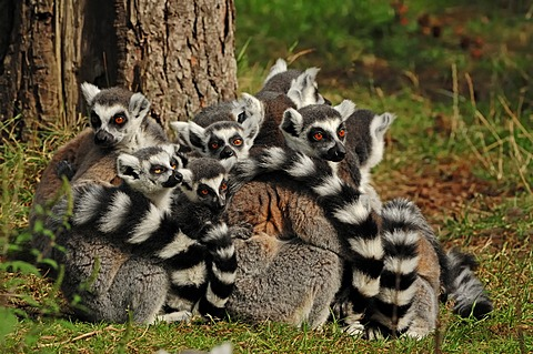 Ring-tailed lemurs (Lemur catta), found in Madagascar, Africa, captive, Germany, Europe
